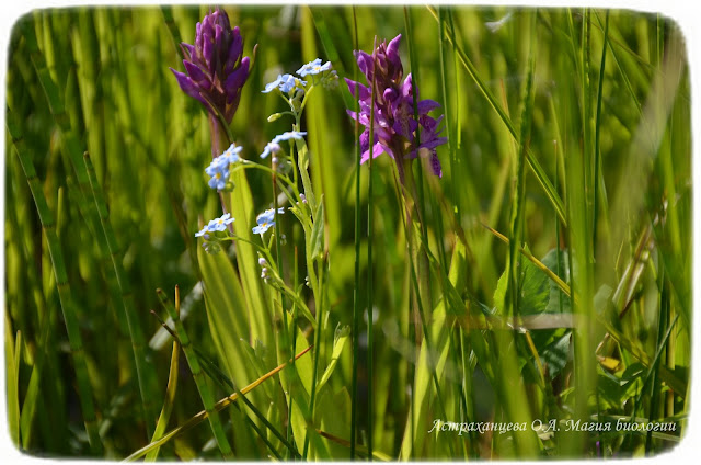 orhideya-yatryshnik-shlemonosnyj-salep
