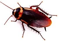 Foto a una cucaracha típica de la costa peruana