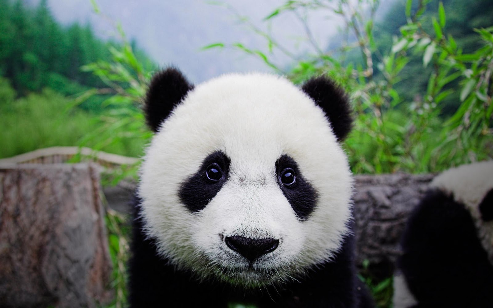 Central Wallpaper: Cute Panda Bears HD Wallpapers