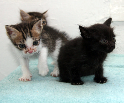 black, tabby and tabby and white kittens
