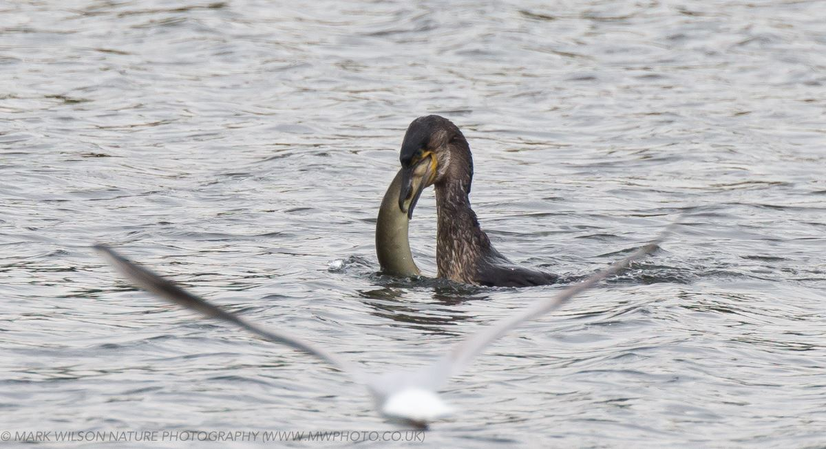 MONTGOMERYSHIRE BIRDS: Cormorant fishing at Llyn Coed y