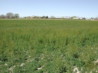 A dormant alfalfa field in winter is covered with a dense population of London rocket plants