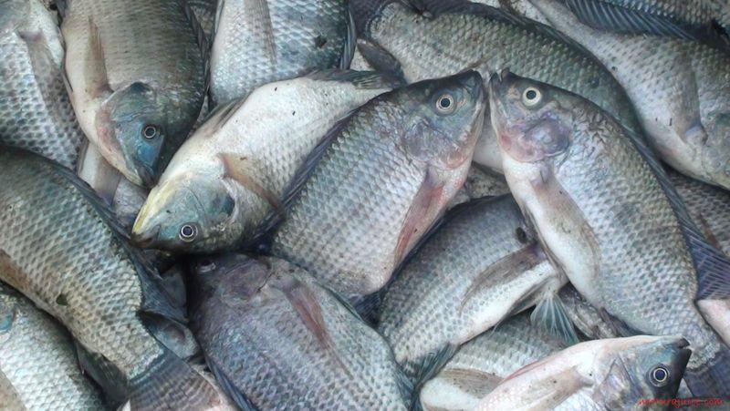 Gambar, Foto Klasifikasi Morfologi Ikan Nila Dan Asal Muasal Ikan Nila