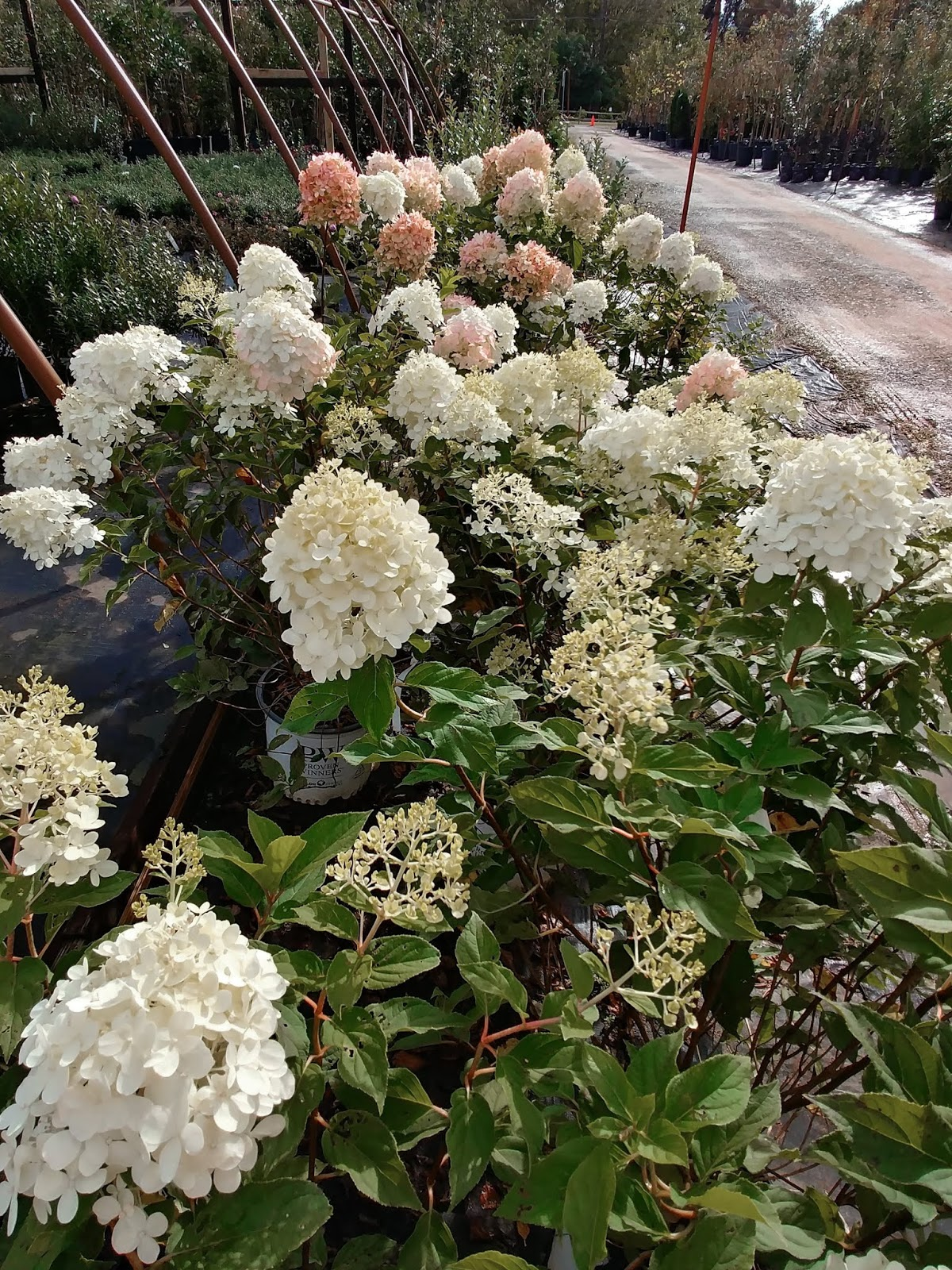 One To Grow On Hydrangea Care And Pruning A Mystery Solved