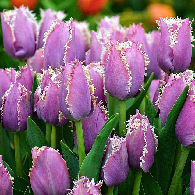 hoa tulip hồng, tím đẹp nhất 11