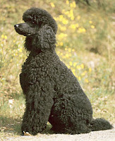 Poodle dog medium size