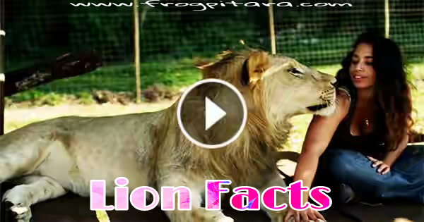 Lion Facts In Hindi Sher Ke Rochak Tathya Aur Jankari