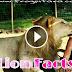 जंगल के राजा शेर से जुड़े 25 हैरान कर देने वाले रोचक तथ्य और जानकारी हिंदी में! Lion Facts In Hindi Sher Ke Rochak Tathya Aur Jankari