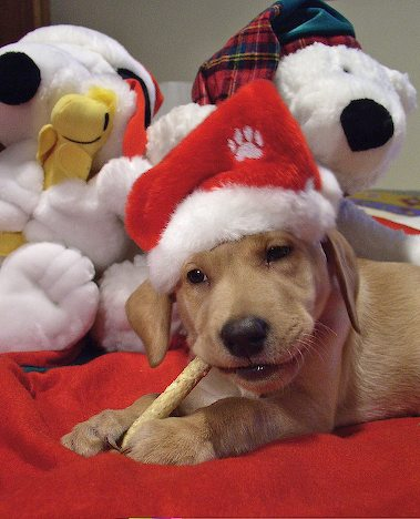 Cute and funny pictures of animals 47 .Christmas dogs.  |Cute Christmas Dog