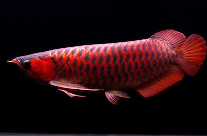 Arwana super red asia ikan hias air tawar