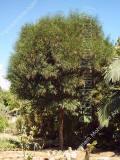شجرة أكاسيا ساليجنا Acacia saligna