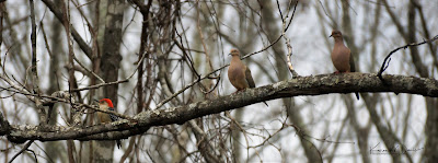 Mourning dove pair with a Red-bellied woodpecker on the same branch