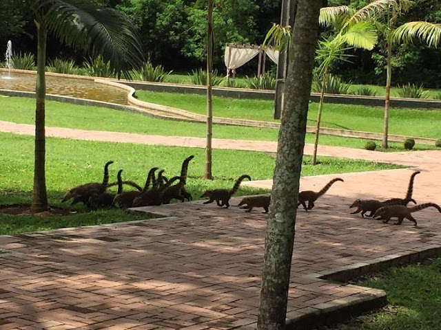 These Coatis Look Like A Hord Of Mini Brachiosaurus Strolling Around
