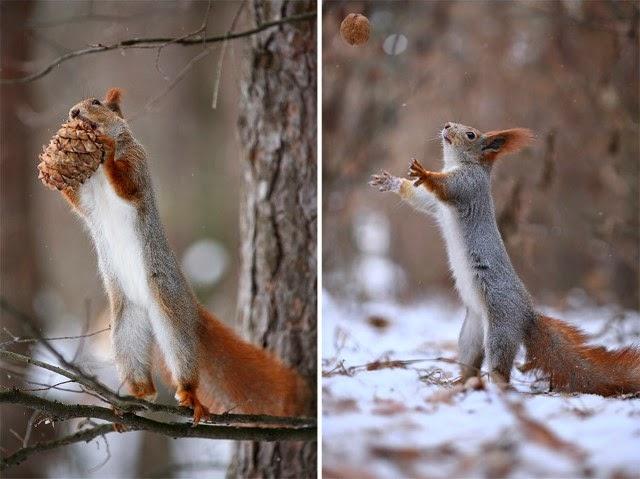 شاهدوا بالصور كيف تتصرف السناجب على الثلج! squirrel.jpg