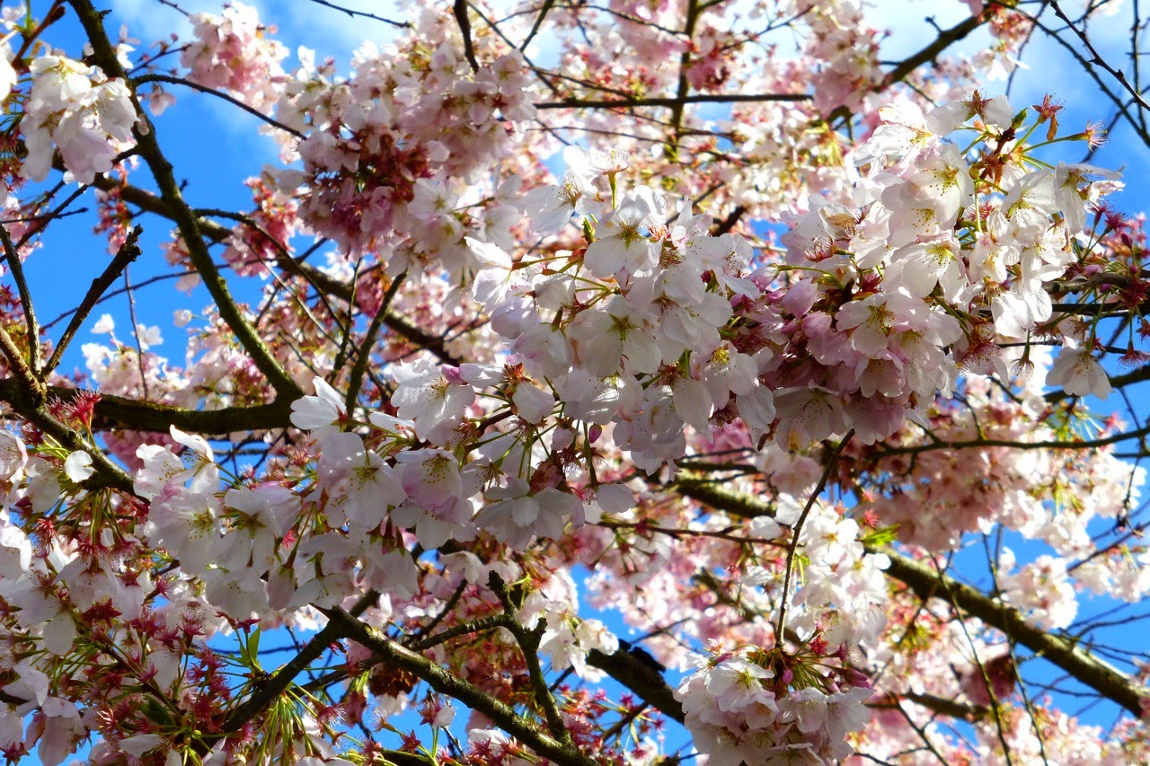 ume hanami, first day of spring, under a plum blossom tree, plum blossoms, pink plum blossoms, pink blossms, blue sky