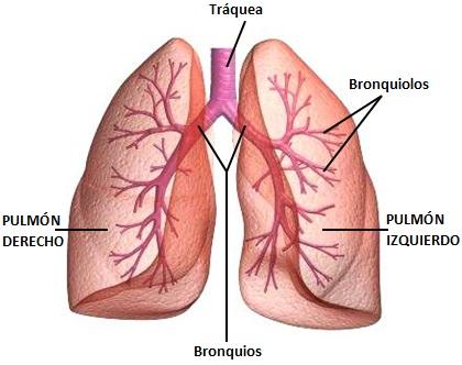 Dibujo de los pulmones para niños señalando partes