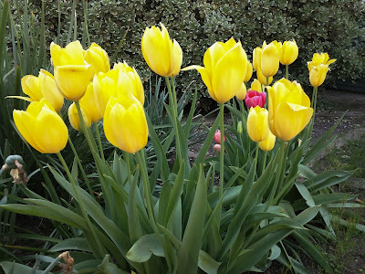 Final different angle of the same yellow tulips