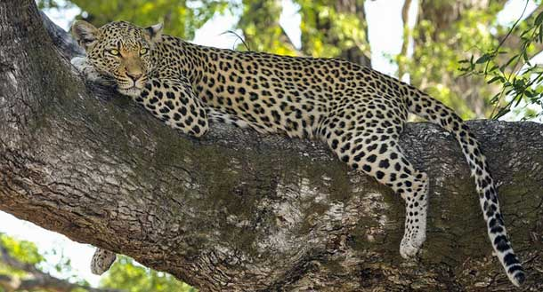 Facts about Leopard in Hindi
