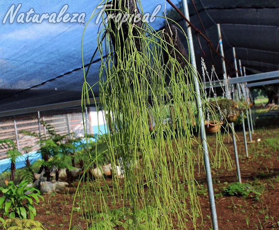 La Disciplinilla o Cactus Colgante, Rhipsalis baccifera