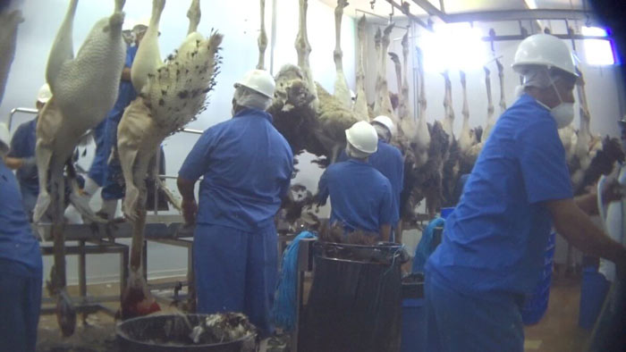 Matadouro de avestruzes