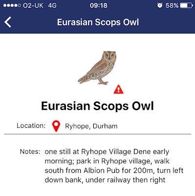 Scops Owl in Durham!