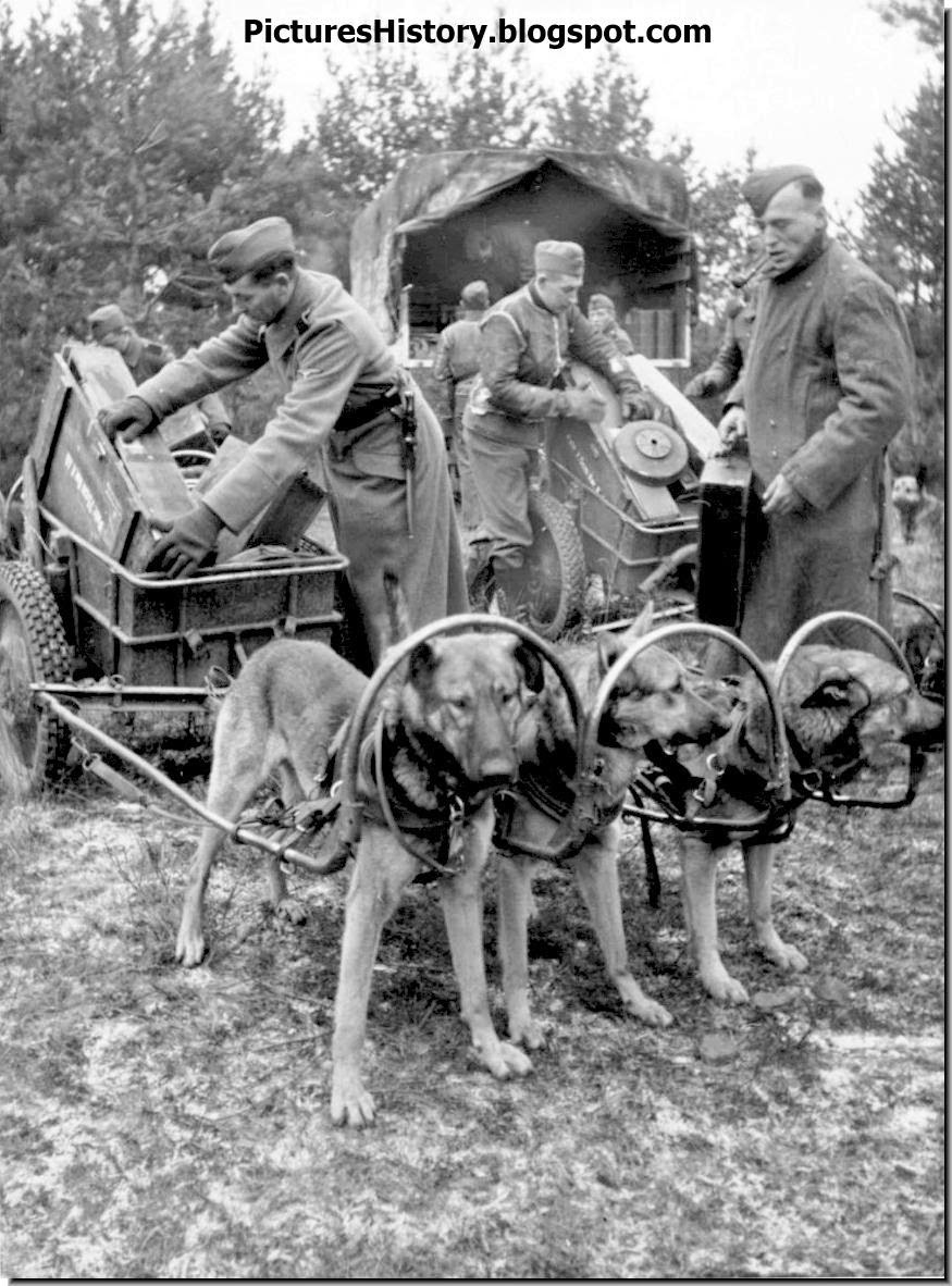 Waffen SS 6th Mountain Division 'Nord' load ammunition dog sleigh