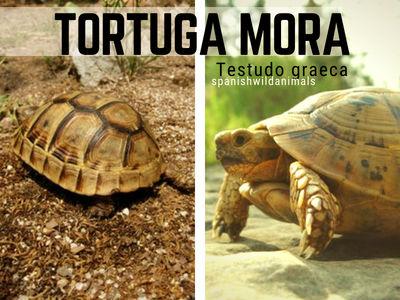 Tortuga Mora, Testudo graeca, reptiles que alcanza una longitud de unos 40 cm.