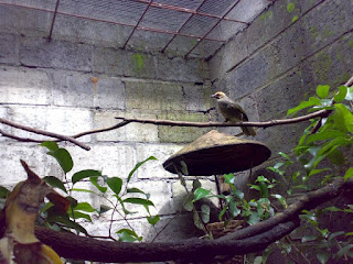 burung cucakrawa, cucakrawa