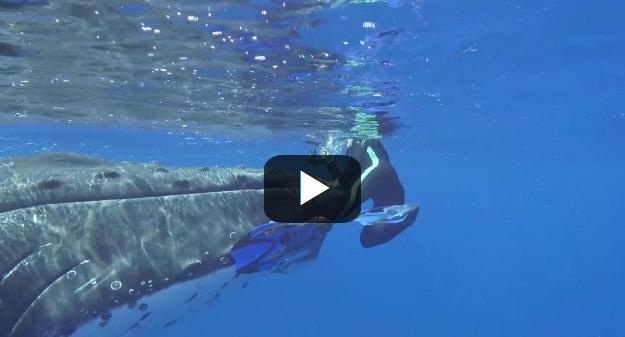Τεράστια φάλαινα προστατεύει δύτη από καρχαρία βάζοντάς την κάτω από το πτερύγιο
