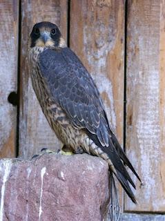 Faucon pèlerin - Falco peregrinus