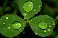 beautiful dew drops on clover leaf