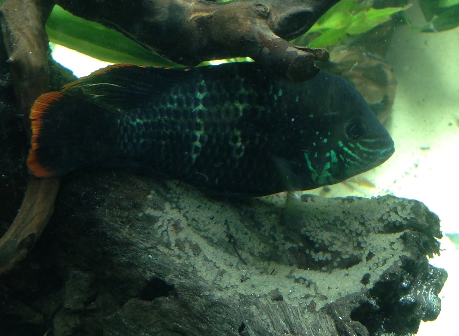 Two Green Fish: Green Terror Color & Pattern Changing
