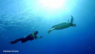 Penyu Hijau Kepulauan Derawan
