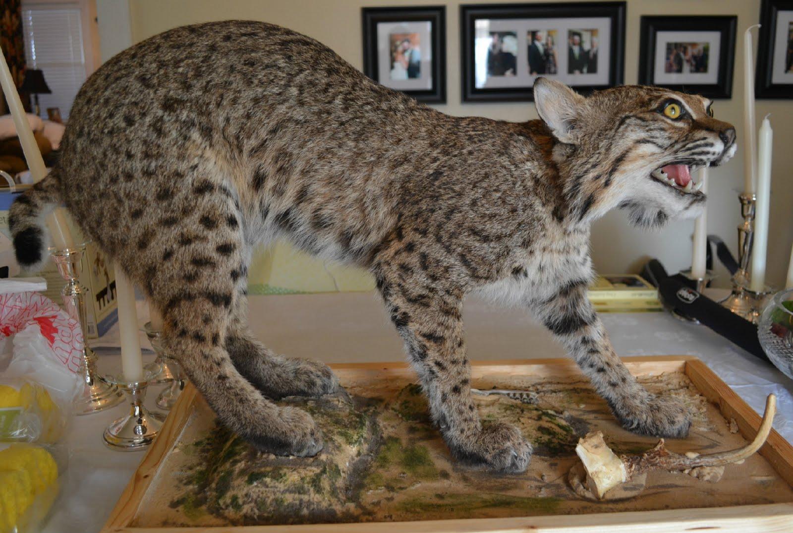 The Wild Life Bobcat Mount