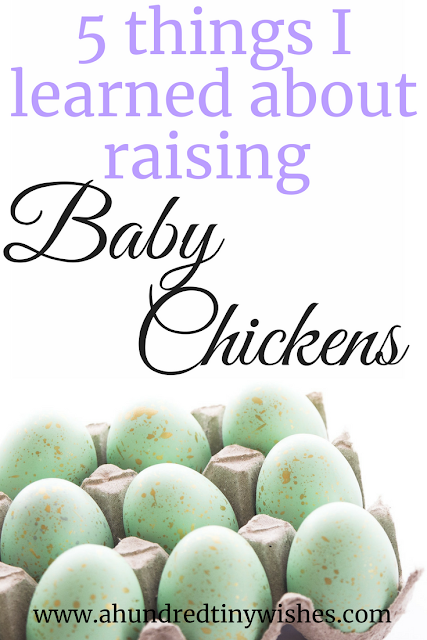 five things I've learned about raising baby chickens #friendsnotfood