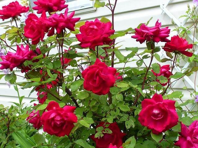 Mawar Merah Cara Mudah Menanam Bunga Mawar
