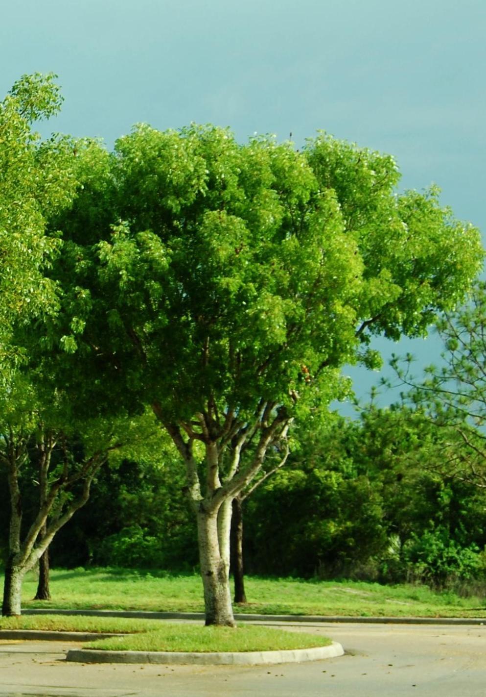 JAMAICA I SAID IT: JAMAICA TREES