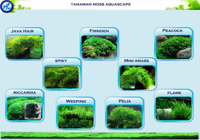 Pertanyaan Kegunaan Moss Aquascape Alam Ikan