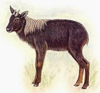 Sumatran Serow