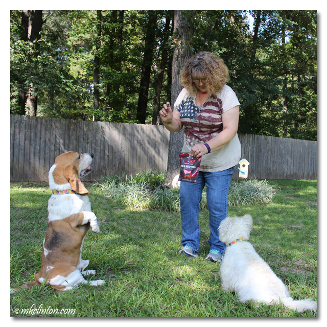 Bentley Basset sitting up for a treat while Pierre Westie looks on