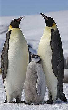 Pingüino emperador Aptenodytes forsteri