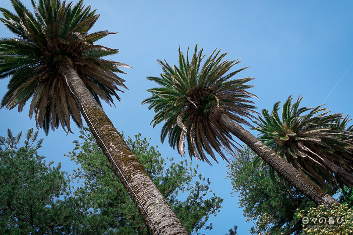 Palmiers, Jardim do Passeio Alegre, Porto