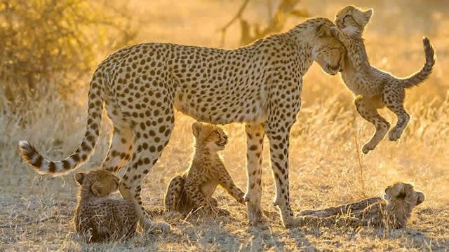 صورة صغير الفهد مع أمه