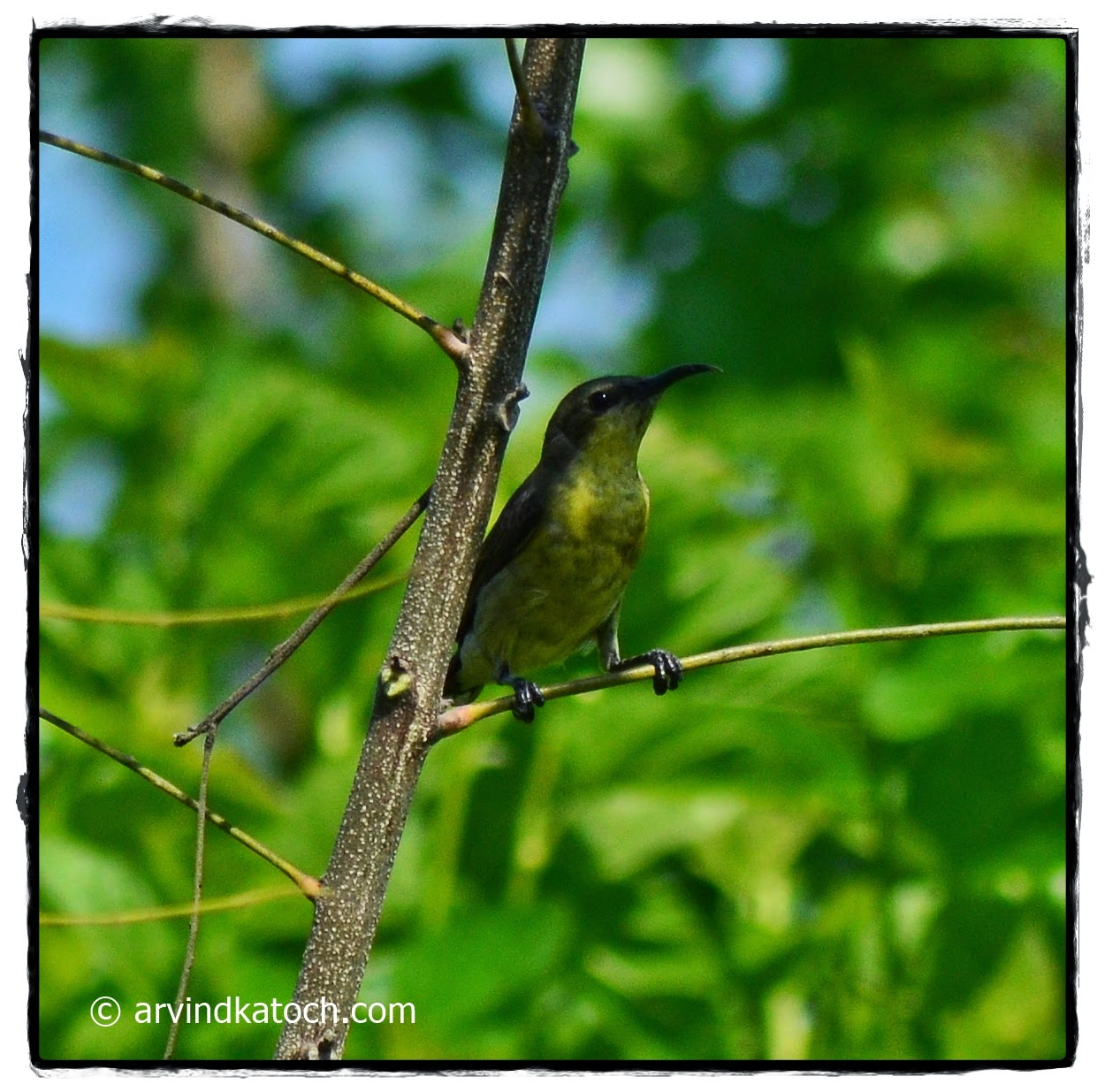 Purple Sunbird Female, Female,