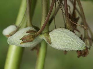 Asclépiade commune (Asclepias syriaca)