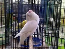Rahasia Memaster  Lovebird Ngekek Panjang