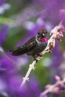 Close-up of a green and pink hummingbird at rest sitting on a white branch with purple flowers in the background. Photo by Joshua Wilking on Unsplash.