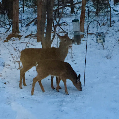 a pair of whitetails at the bird feeder