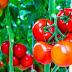 LV - Nghiên cứu khả năng kết hợp và tuyển chọn các tổ hợp lai cà chua triển vọng ở vụ Xuân Hè sớm và Xuân hè muộn 2009 tại Gia Lâm - Hà Nội