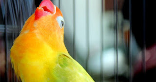 lovebird berstamina